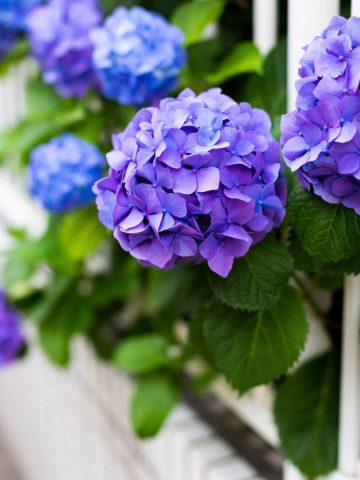 PLANTING HYDRANGEAS IN POTS AND URNS